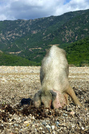 Image of a wild pig searching for food. photo