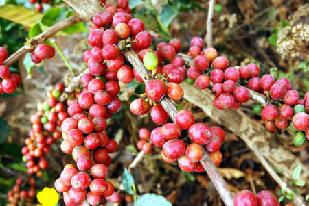 Image of fresh coffee grains on plant photo