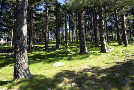 boles: Image of a pine forest in Corsica