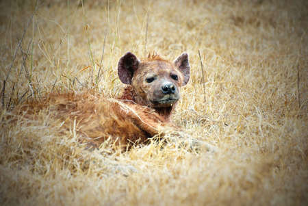 vignetting: Laid-down hyena  picture with vignetting effect Stock Photo