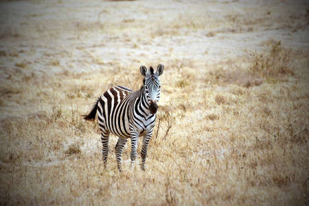 vignetting: Lonely zebra picture in savanna with vignetting effect