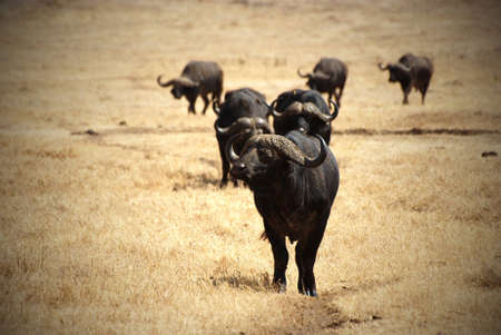 vignetting: Image with vignetting of an African buffalo group