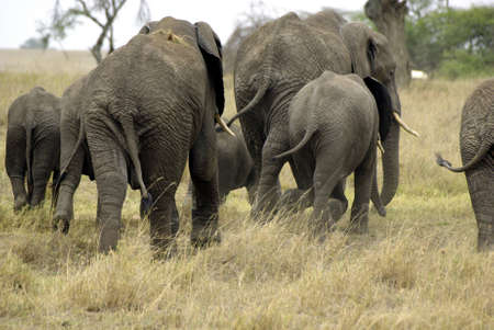 Image of an elephant family running Stock Photo - 11378242