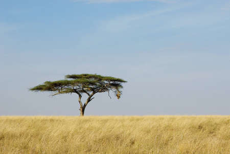 Image of a lonely acacia tree in Serengeti photo