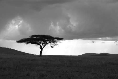 Image of an acacia tree in Serengeti in black and white photo