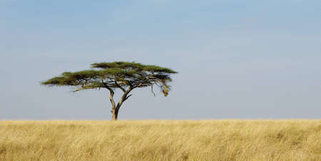 Panoramic image of a lonely acacia tree in Serengeti