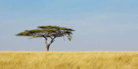 savanna: Panoramic image of a lonely acacia tree in Serengeti