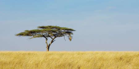 tanzania: Panoramic image of a lonely acacia tree in Serengeti