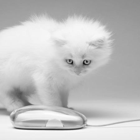 Kitten hunts the mouse photo