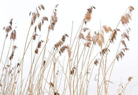 caña caña de hierba aislado sobre fondo blanco