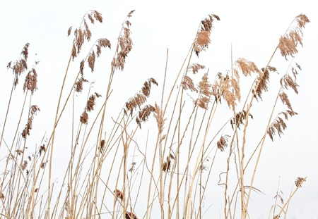 reed cane grass Isolated on white background