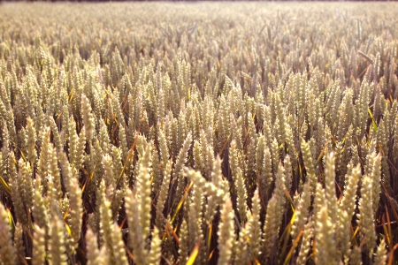 protection of arable land: Wheat field illuminated by rays of the setting sun