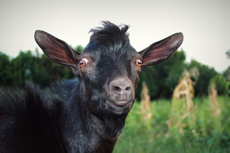 Surprised and serious black goat on the green grass. Stare wide-eyed brown. Pop-eyed.