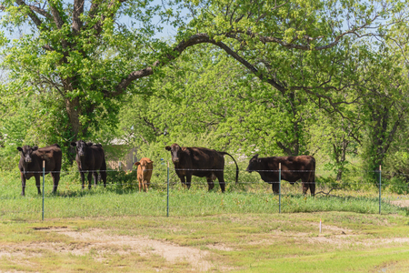 Group of black cows at local farm in Bristol, Texas, USA. Black cattle at ranch with barbed wire fence during springtime Bluebonnet blossom