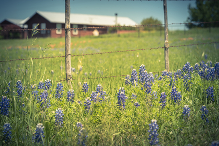 Vintage tone bluebonnet and Indian Paintbrush wildflower blooming in springtime at rural farm in Bristol, Texas, USA. Scenic life on the ranch with rustic fence Stok Fotoğraf