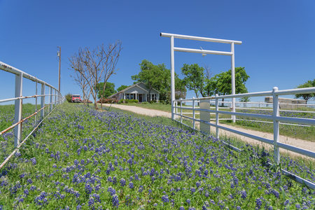 Scenic ranch landscape in Texas with wildflower Bluebonnet blooming