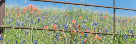 Panoramic view Indian Paintbrush and Bluebonnet blooming along old metal fence