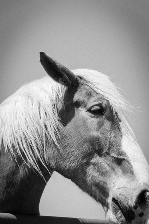 Filtered image of Belgian horse head at American farm ranch close-up Banco de Imagens