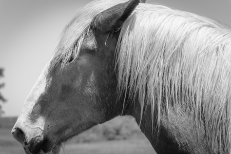 Filtered image of Belgian horse head at American farm ranch close-up
