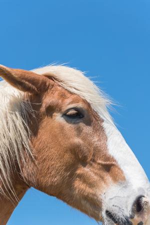 Belgian horse at American farm ranch close-up Banco de Imagens