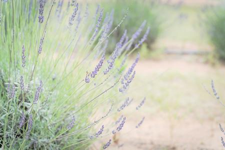 Vollblühender Lavendelbusch auf Bio-Bauernhof in der Nähe von Dallas, Texas, Amerika Standard-Bild