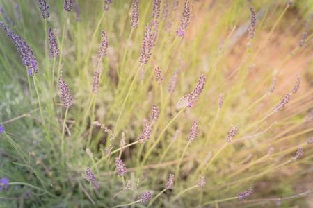 Warm light full blossom lavender bush at organic farm near Dallas, Texas, USA