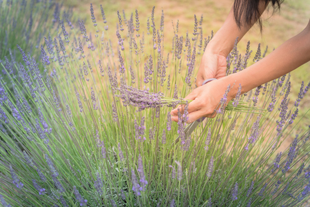 Close-up hand of Asian lady is cutting lavender at local farm in Gainesville, Texas, America. Hand harvesting blooming flower
