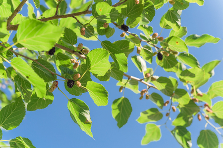 Close-up view of sweet black mulberry morus nigra growing on tree branches near Dallas, Texas, America. Mulberries fruits ready to pickup in May harvest season Stockfoto