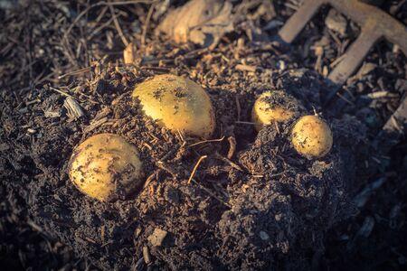 Harvesting potatoes using digging folk at patch garden in USA