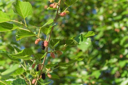 Ripe mulberry fruits on tree ready to harvest in Texas, USA