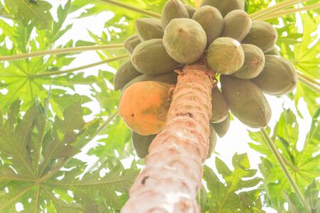 One organic ripe papaya surrounding by unripe green ones growing on tree branch. Concept for being different, standout, leader. Scene from farmland in Vietnam Stock Photo