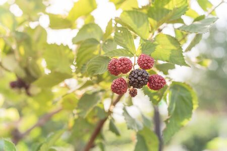Pile of ripe and unripe blackberries growing on tree. Red (unripe) and dark black (ripe) raw organic blueberry with green leaves background