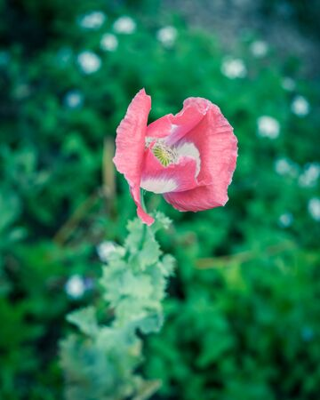 Vintage tone top view close-up pink and white poppy flower blooming at garden in Texas, America. Vibrant summer flower blossom in nature with green leaves background
