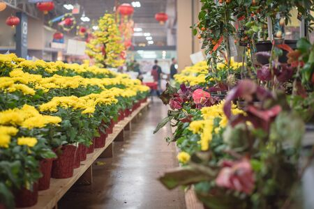 Row of Chrysanthemum pots and kumquat, seasonal flowers at Vietnamese Lunar New Year Tet festival in Texas, America. Blurred customer shopping in background Stock Photo