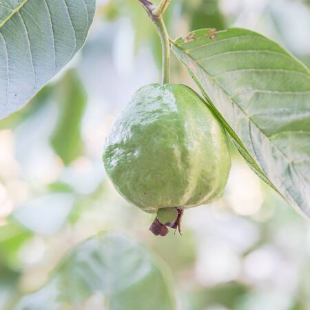 One green guava hanging on tree branch with nice bokeh background. Organic tropical fruit at home garden in Vietnam Stock fotó
