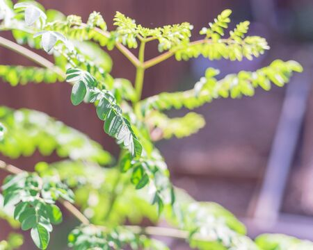 Selective focus Moringa oleifera tree at home garden in Texas, America. Native to tropical, subtropical regions of Asia. Common names include drumstick, Malunggay, horseradish, ben oil or benzolive Stock Photo