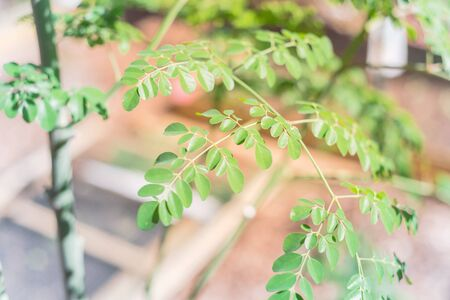 Close-up Moringa oleifera tree at home garden in Texas, America. Native to tropical, subtropical regions of Asia. Common names include drumstick, Malunggay, horseradish, ben oil or benzolive tree