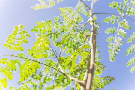 Branch with young leaves of Moringa tree under clear blue sky. Native to tropical, subtropical regions of Asia. Common names include drumstick tree, Malunggay, horseradish, ben oil, benzolive tree Stock Photo