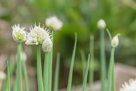 Green onion scallions flowering at organic garden in rural Vietnam during Spring time. Spice herb flower buds close-up