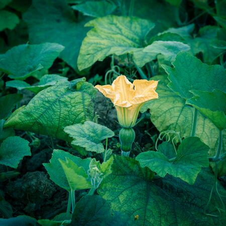 Close-up yellow pumpkin flower and young fruit at farm in the North Vietnam. Strong green pumpkin vine growing on clay soil with weed. Agriculture background. Foto de archivo - 133542757