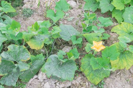Top view a pumpkin farm in the North Vietnam with yellow squash flower and young fruit. Strong green pumpkin vine growing on clay soil with weed. Agriculture background. Foto de archivo - 133542811