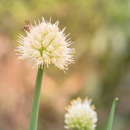 Selective focus green onion scallions flowering at organic garden in rural Vietnam during Spring time. Spice herb flower buds close-up
