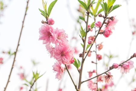Springtime background of peach flower blossom isolated on white. This is ornament trees for Vietnamese Lunar New Year Tet in springtime.