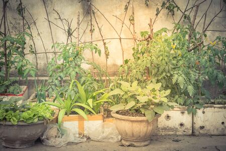polystyrene boxes and pots from urban vertical garden in Hanoi, Vietnam. Kitchen vegetable and herbs growing on homemade tree branches trellis structure, self sufficient concept in Asia Banque d'images
