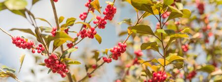 Panorama view Ilex Decidua or winter berry, Possum Haw, Deciduous Holly red fruits on large shrub small tree under cloud blue sky. Blaze of color in the fall in Dallas, Texas.