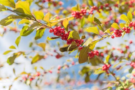 Ilex Decidua or winter berry, Possum Haw, Deciduous Holly red fruits on large shrub small tree under cloud blue sky. Blaze of color in the fall in Dallas, Texas. Imagens