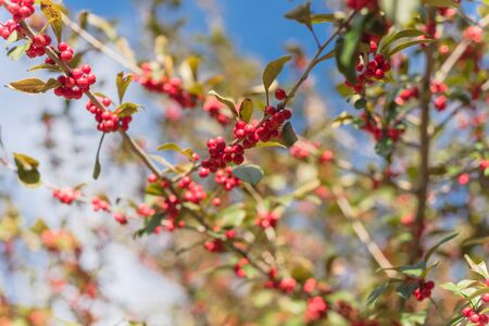Close-up Ilex Decidua or winter berry, Possum Haw, Deciduous Holly red fruits on large shrub small tree. Blaze of color in the fall in Dallas, Texas.