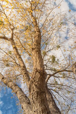 Vertical upward perspective vibrant yellow maple leaves changing color during fall season in Dallas, Texas, USA. Tree tops converging into blue sky. Nature wood forest, canopy of tree branches