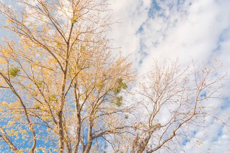 Bright yellow maple tree fall foliage under sunny cloud blue sky. Vibrant leaves changing color during fall season in Dallas, Texas, USA. Tree tops converging into the sky