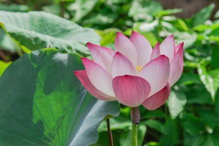 Beautiful blooming pink lotus flower with golden stamen (or Nelumbo nucifera gaertn, Nelumbonaceae, sacred lotus) cultivated in water garden. Lotus is national flower of India and Vietnam